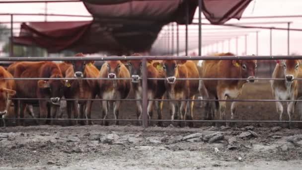 Divoké scény ranči dobytek lízat kovové zábradlí opakovaně