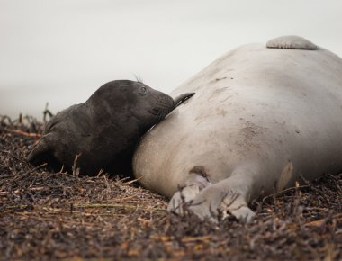 Newborn Elephant Seal Lays Beach With Mother
