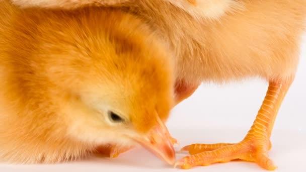 Baby Chick Newborn Farm Chickens Standing White Rhode Island Red — Stock  Video