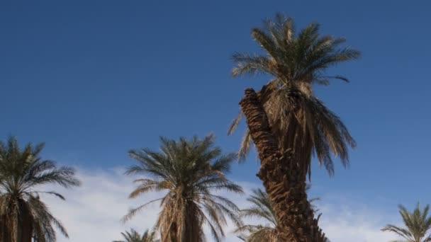 Oáza tropické stromy Furnace Creek Death Valley