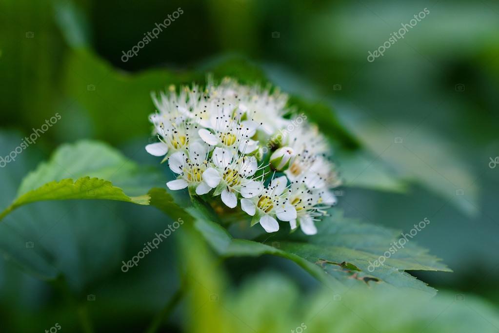 Weiße Blumen Strauch im Frühjahr — Stockfoto © dashabelozerova #56307765