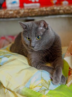 Grey cat with crossed legs