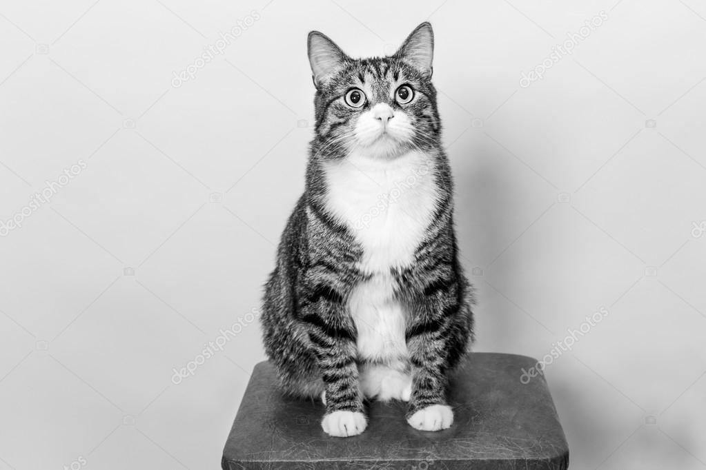 Gatto che si siede sullo sgabello u2014 foto stock © dashabelozerova