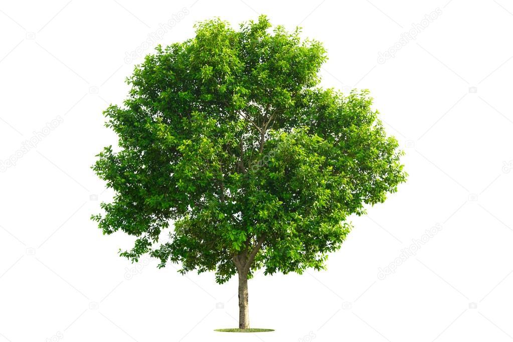 Albero Verde Isolato Con Sfondo Bianco Foto Stock 29mokara 81211072