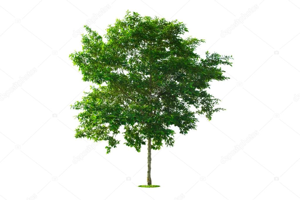 Immagini Albero Con Bianco Albero Verde Isolato Con Sfondo Bianco