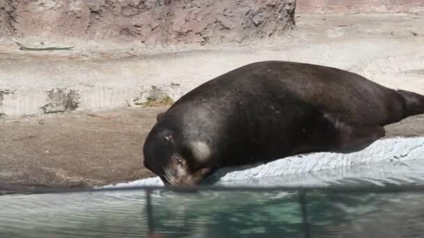 Seal sleeping on a rock