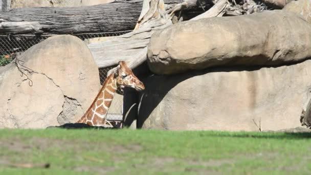 Giraffes in park