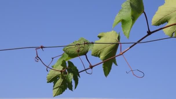 Zöld levelek szőlő ág ellen tiszta kék ég