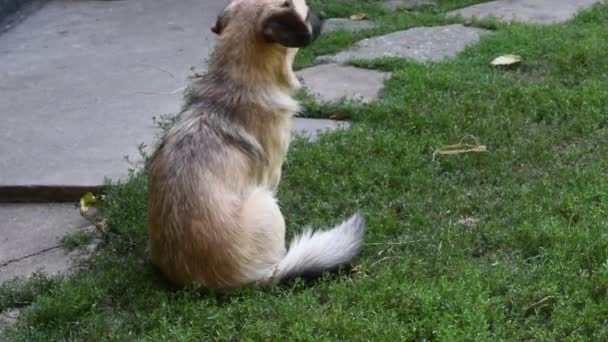 Mix-breed dog sitting back to camera and turning back and looking into camera. The dog itches from parasites