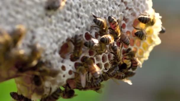 méhek a méhsejt a rajzás