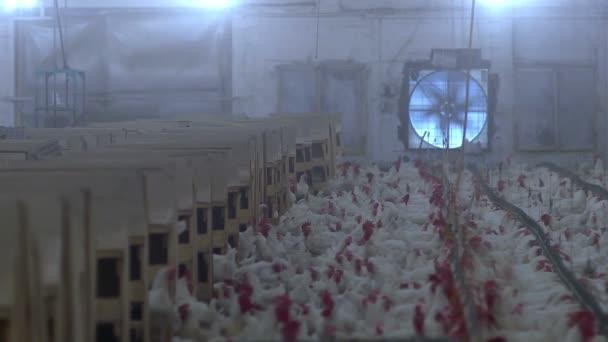 Kuřata drůbeže v továrně