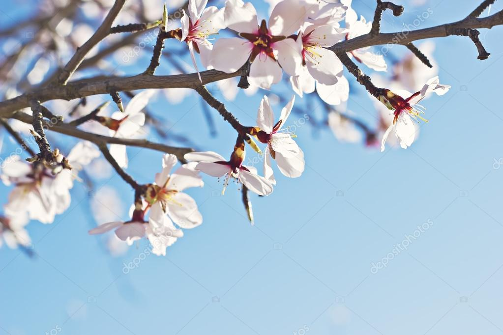 Flowering almond tree branch