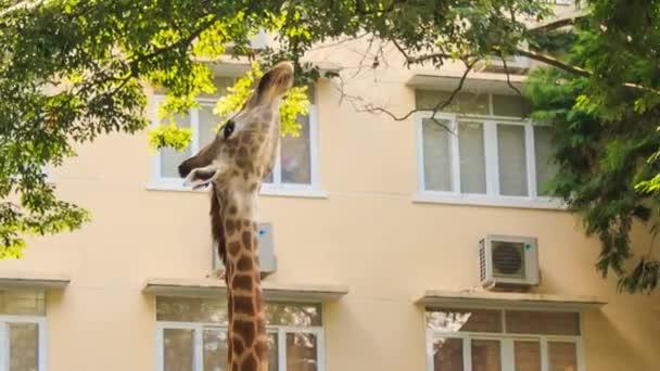zsiráf étkezési fa levelei