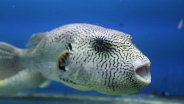 Meeresfische von seltsamer Form im Aquarium