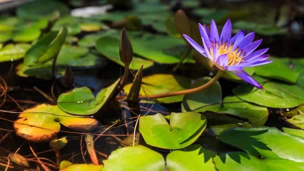 gyönyörű lila folyó lotus