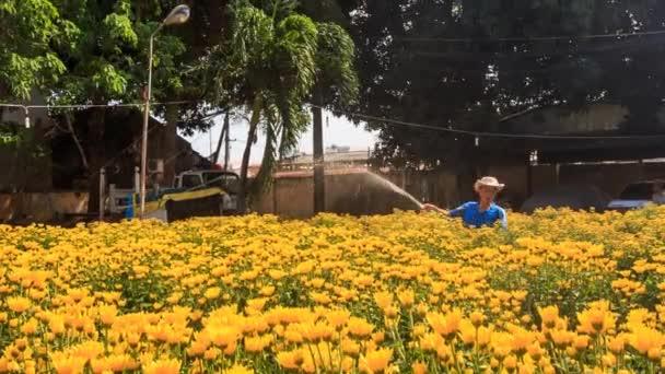 Člověk pracující na plantáži květy chryzantém