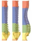 Fotografia Anatomia del sistema ossuto umano, sistema scheletrico umano, scheletro, della colonna vertebrale, columna vertebralis, colonna vertebrale, ossa vertebrali, parete del tronco, corpo anatomico, vista anteriore, posteriore e laterale