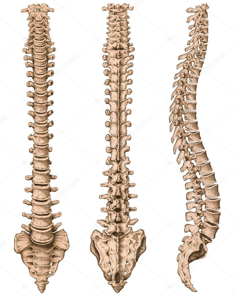 anatomy of human bony system, human skeletal system, the skeleton, Skeleton