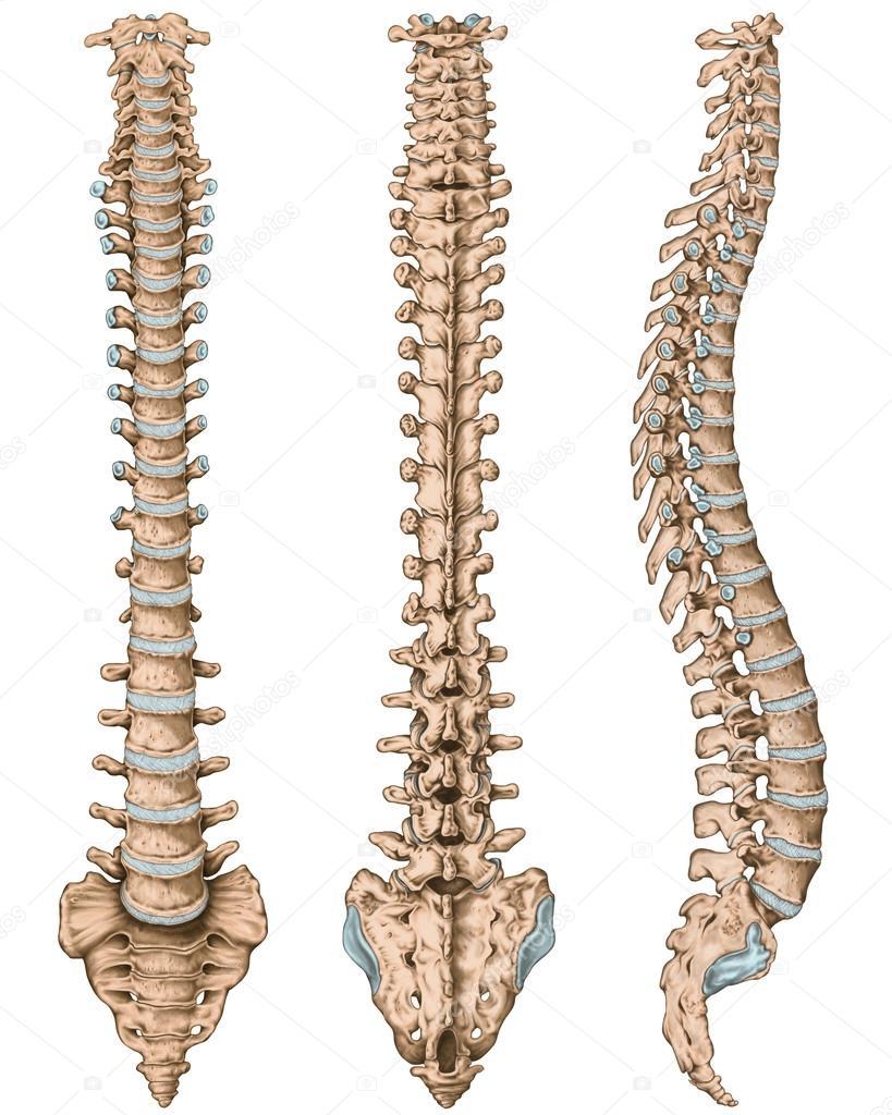 Anatomy of human bony system, human skeletal system, the skeleton ...