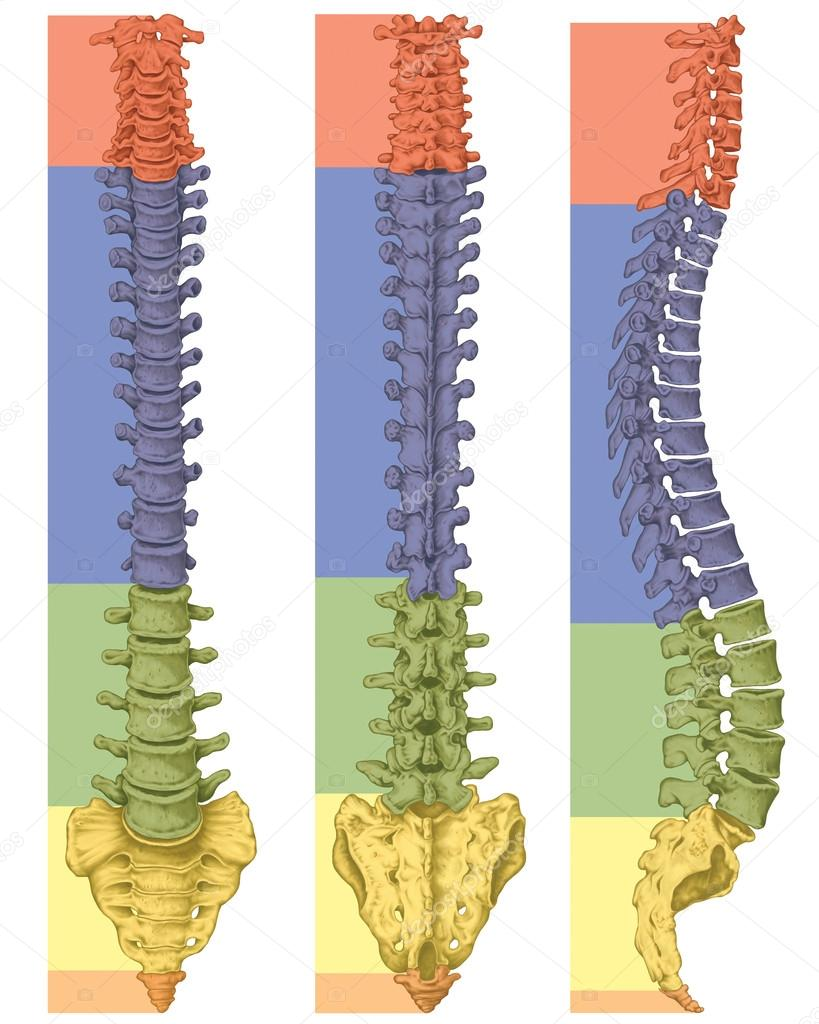 Anatomía del sistema óseo humano, sistema esquelético humano ...