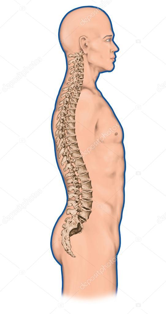 Anatomía del sistema óseo humano, sistema esquelético humano, el ...