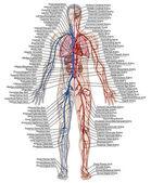 Lidské krvi - didaktické představenstva anatomie krevního systému lidského oběhu sangvinik, kardiovaskulární, cévní, arteriální a žilní systém