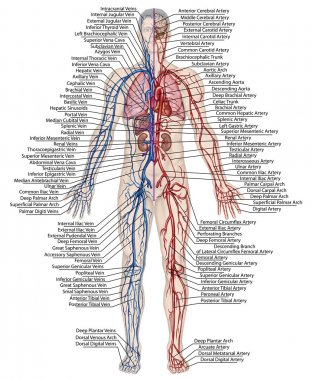 Human bloodstream - didactic board of anatomy of blood system of human circulation sanguine, cardiovascular, vascular, arterial and venous system