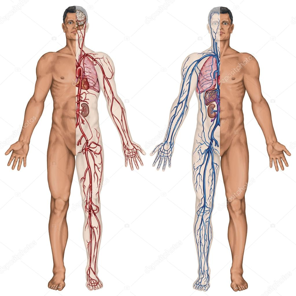 Human bloodstream - didactic board of anatomy of blood system of ...