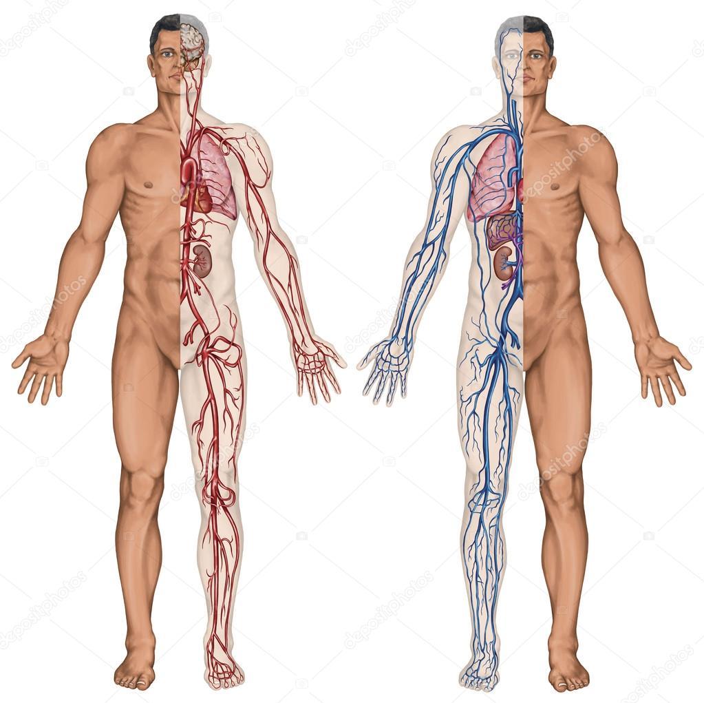 Menschlichen Blutkreislauf - didaktische Vorstand der Anatomie des ...
