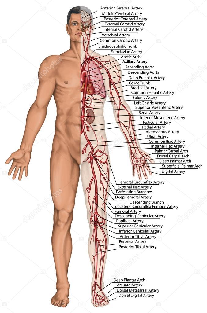 menschliche Blutkreislauf - didaktische Vorstand der Anatomie des ...