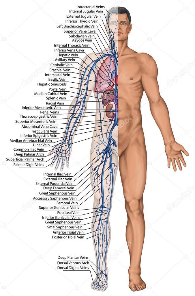 torrente sanguíneo humano - tablero didáctico de la anatomía del ...