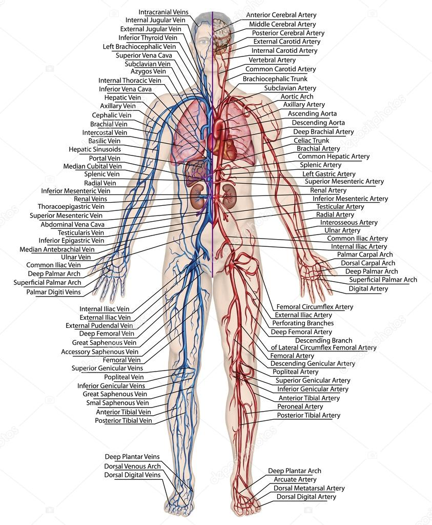 Human Bloodstream Didactic Board Of Anatomy Of Blood System Of