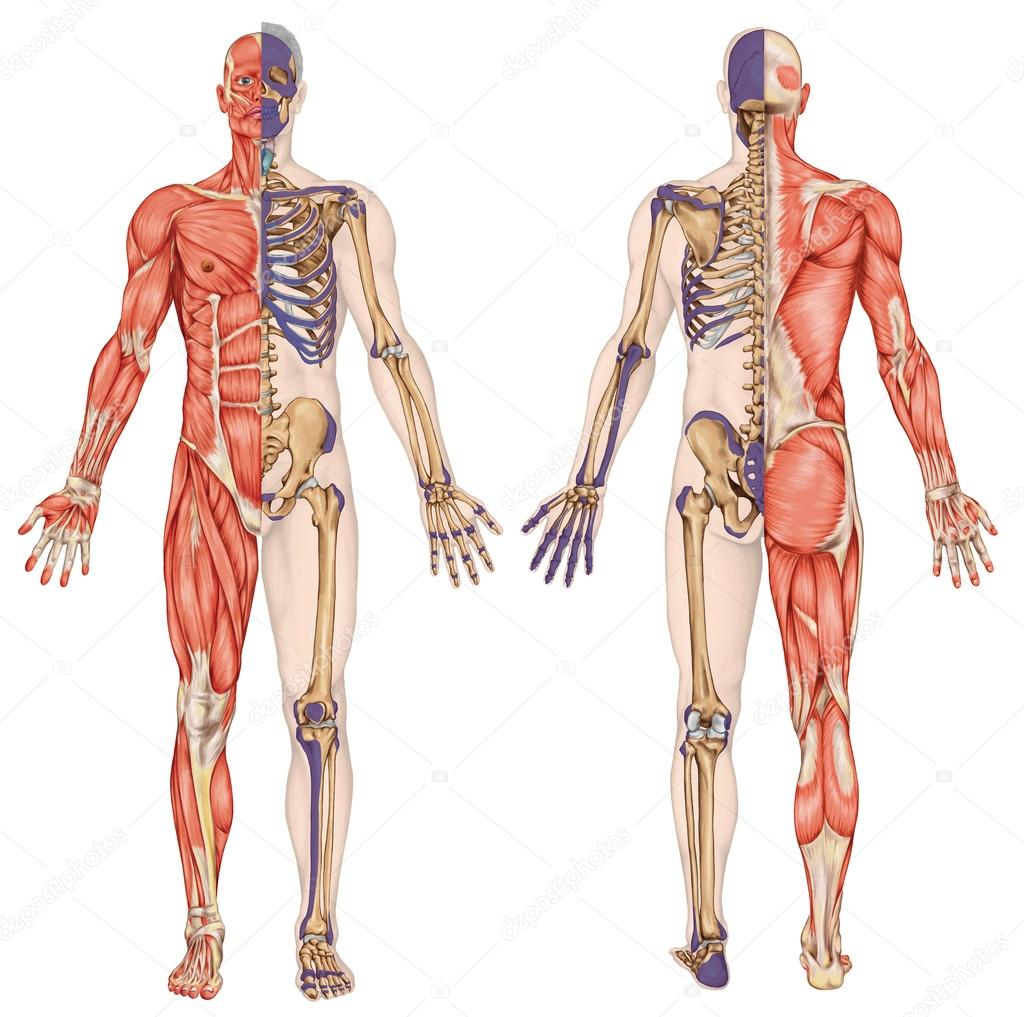 Anatomical body human skeleton anatomy of human bony system anatomical body human skeleton anatomy of human bony system body surface contour and palpable bony prominences of the trunk and upper and lower limbs ccuart Gallery