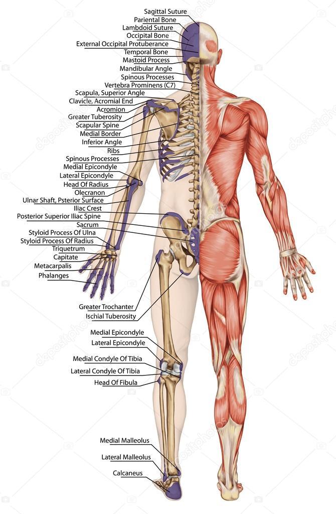 Anatomische lichaam, menselijk skelet, anatomie van menselijke ...
