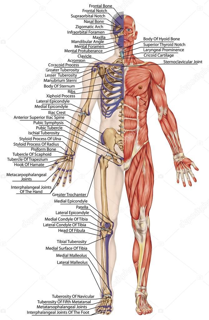 Anatomische Körper, Menschliches Skelett, Anatomie des menschlichen ...