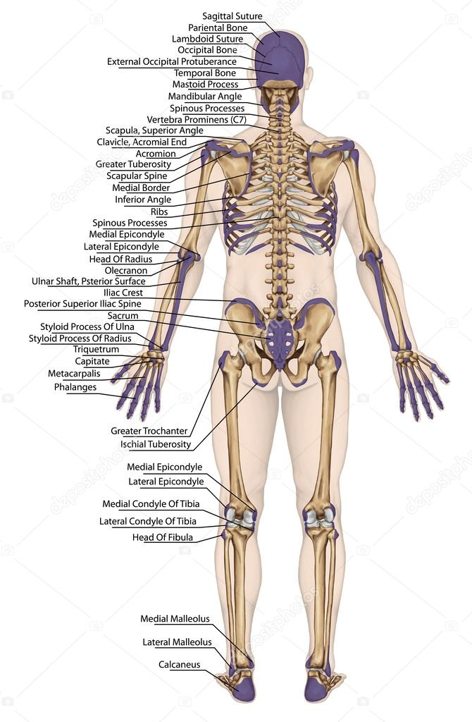 Anatomical Body Human Skeleton Anatomy Of Human Bony System Body