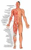 Anatomical board, male anatomy, mans anatomical body, human muscular system, surface anatomy, body shapes, anterior view, full body