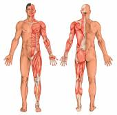 Male, masculine, mans anatomical body, surface anatomy, body shapes, anatomy of muscular system, anterior posterior view, full body