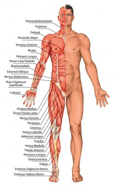 Anatomical board, male anatomy, man's anatomical body, human muscular system, surface anatomy, body shapes, anterior view, full body