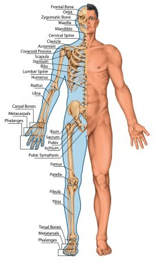 Anatomical board, anatomical body, human skeleton, anatomy of human bony system, surface anatomy, body shapes, anterior view, full body