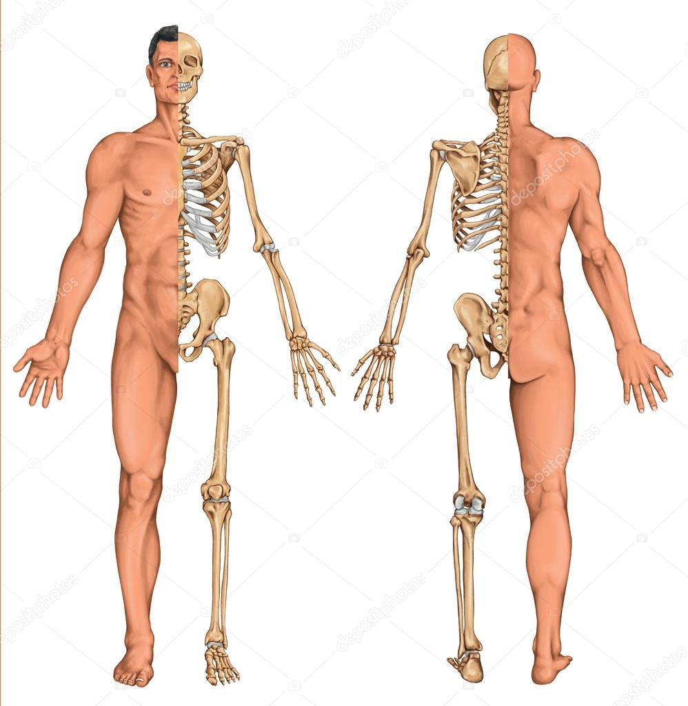 Cuerpo anatómico del hombre, el esqueleto humano, anatomía del ...