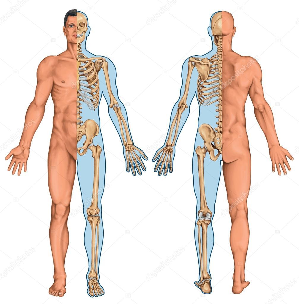 Anatomische Körper des Mannes, Menschliches Skelett, Anatomie des ...