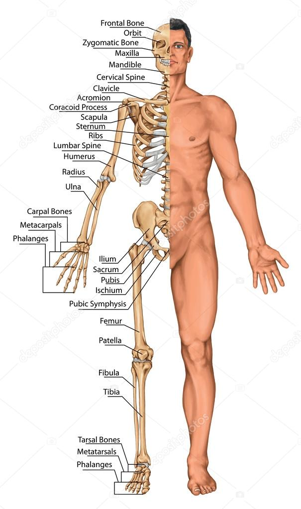 Anatomical board, anatomical body, human skeleton, anatomy of human ...