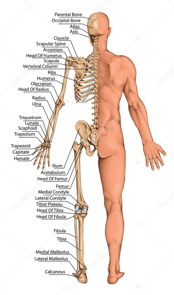 Anatomical Board Anatomical Body Human Skeleton Anatomy Of Human