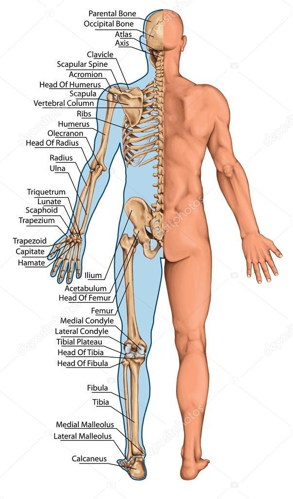 Anatomische Board, anatomische Körper, Menschliches Skelett ...