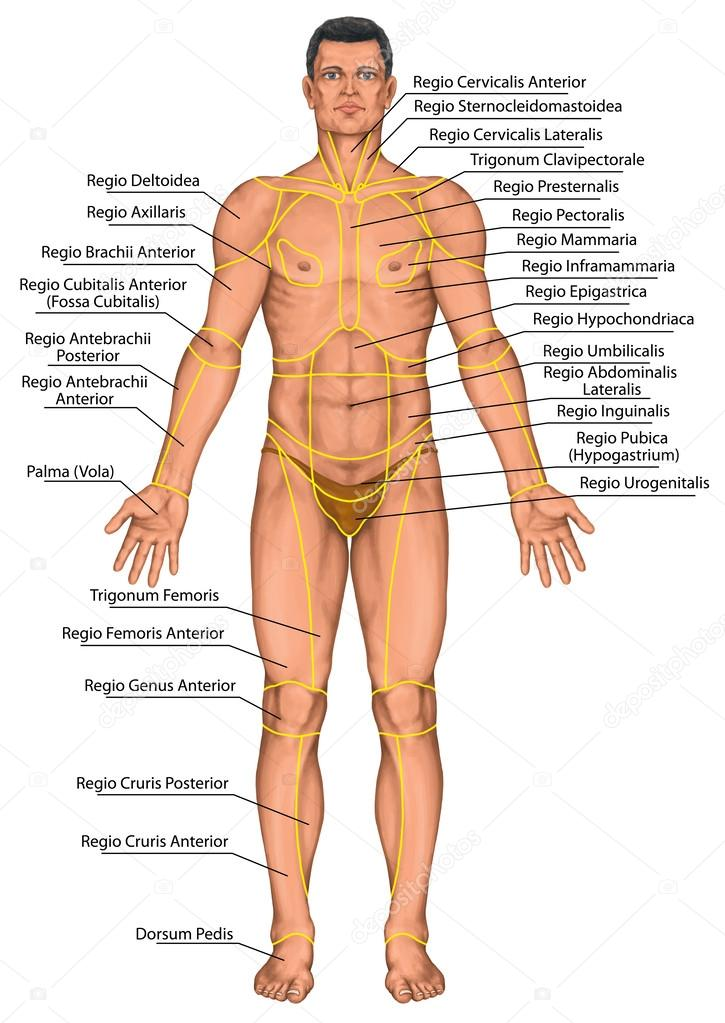 Stock Photo Anatomical Board Region Of A additionally Reproductive System Of Female With Photo In Tamil together with Human Body Outline Image furthermore Peripheral nerve damage as well Digestive System 257191. on human body systems