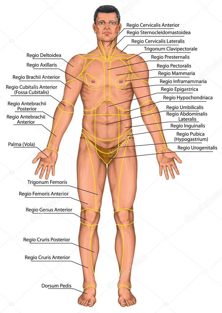 Anatomische Board, Region eines menschlichen Körpers, Regionen ...