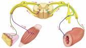 Somatických a automatický motor reflex, somatické a automatické nervový systém, periferní a viscerální nervový systém, dobrovolné a nedobrovolné kontrolu těla a tělesné funkce