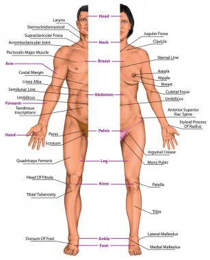 Male and female anatomical body, surface anatomy, human body shapes, anterior view, parts of human body, general anatomy
