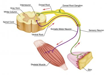 Somatic motor reflex, somatic nervous system,  peripheral nervous system, voluntary control of body movements via skeletal muscles, afferent and efferent nerves